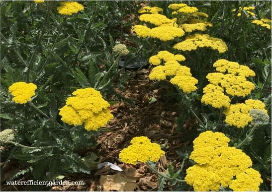 Golden yarrow in a garden