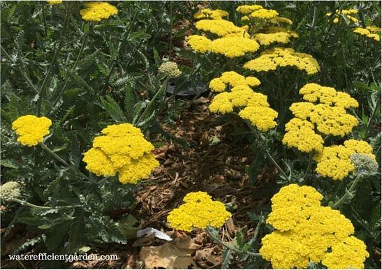 Golden yarrow in a garden