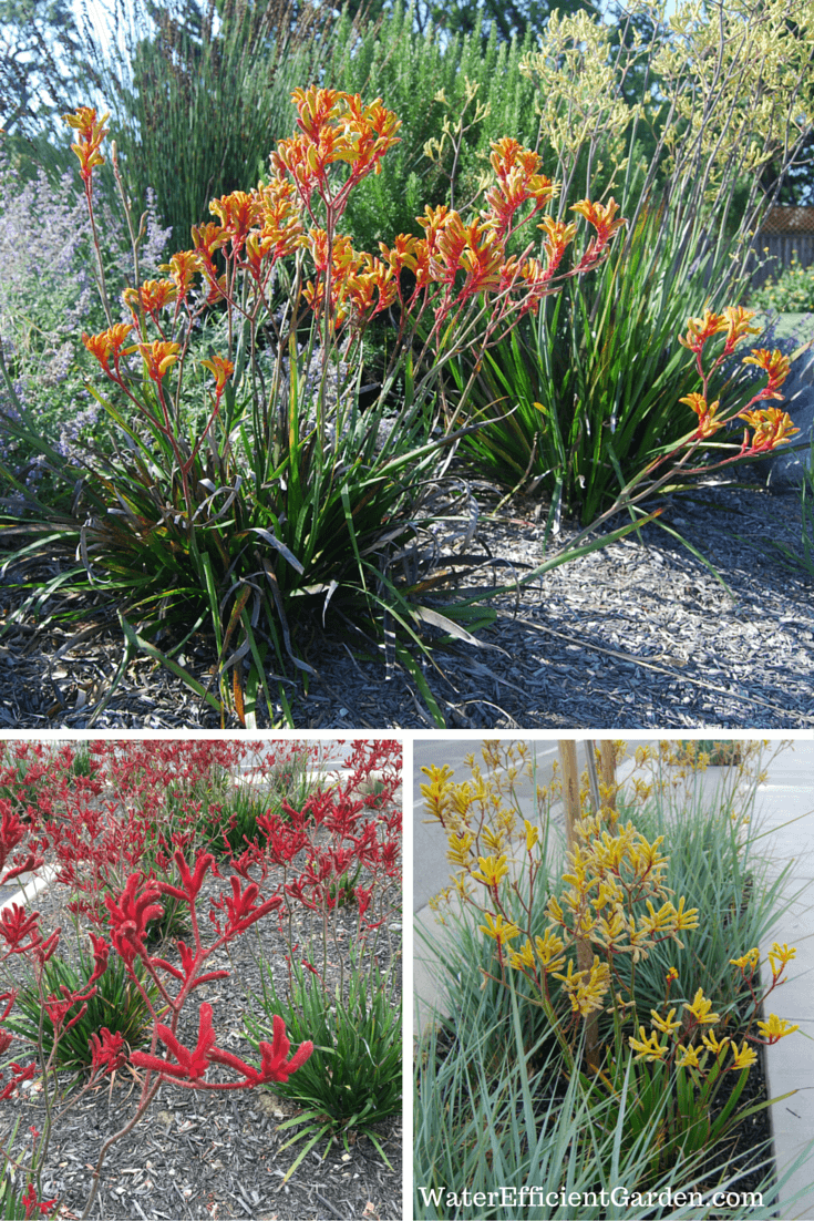 Kangaroo's Paw: Add Color And Fun To Your Garden