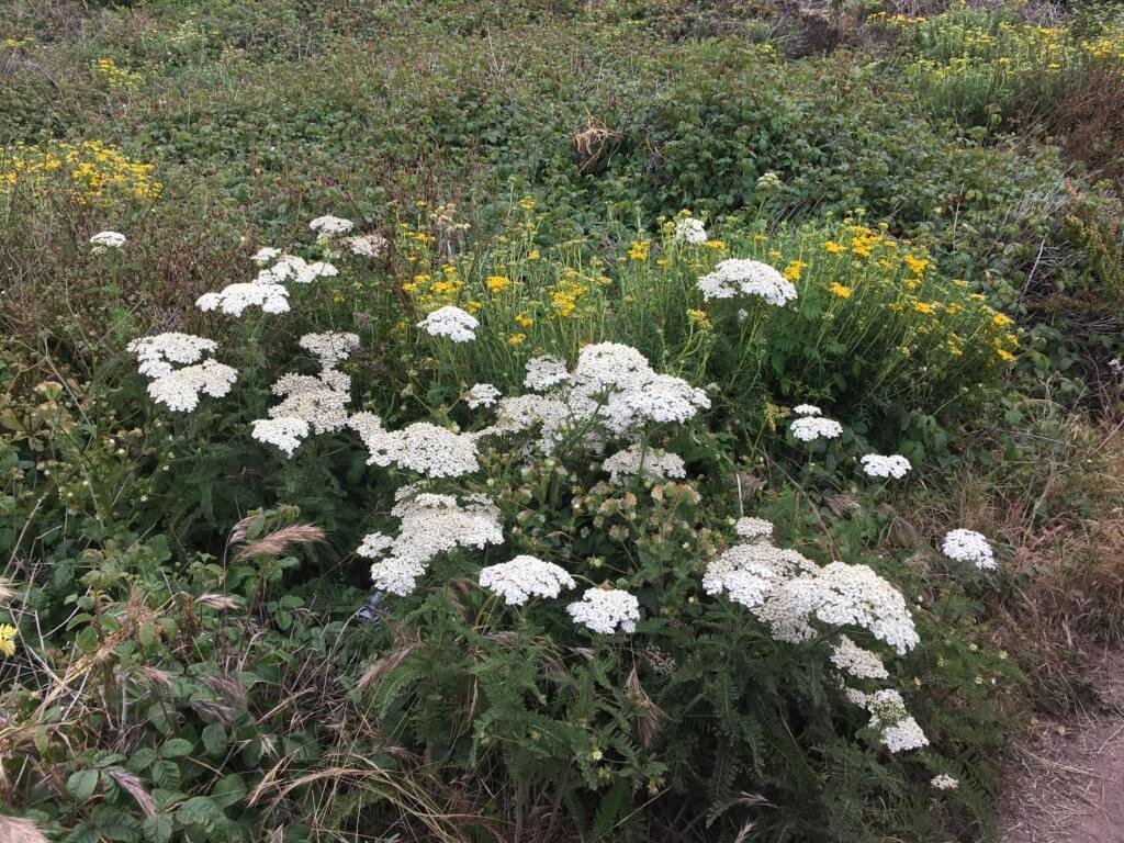 Common Yarrow on Pacific Coast