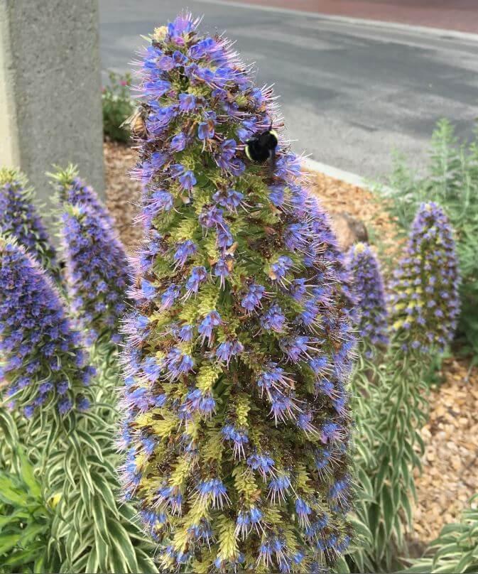 Bees on an Echium
