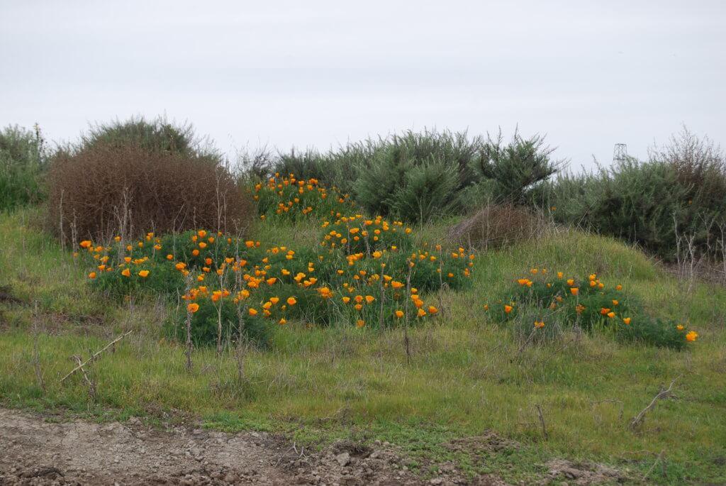 Golden poppy on a field