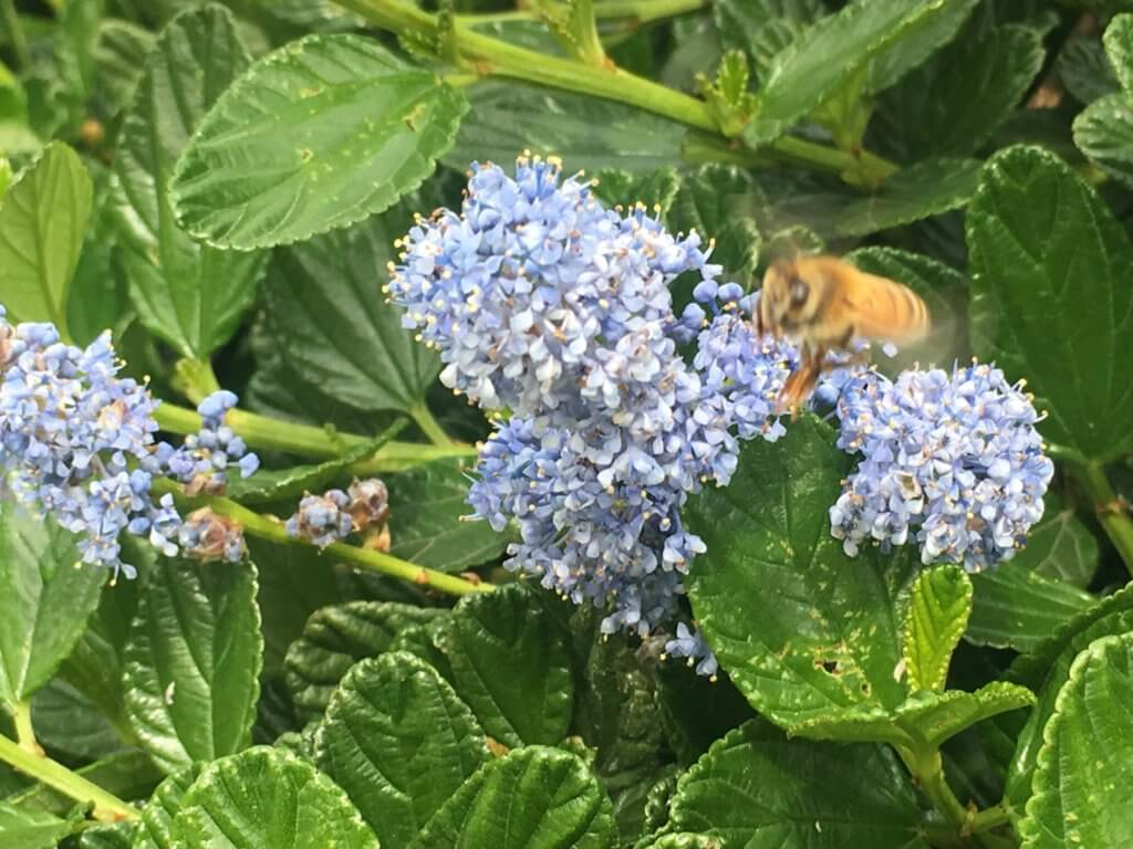 A bee on a lilac