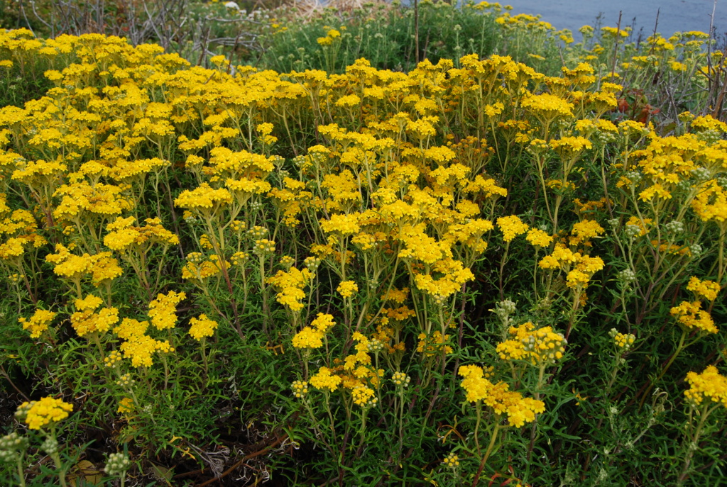 Golden Yarrow on Pacific Coast