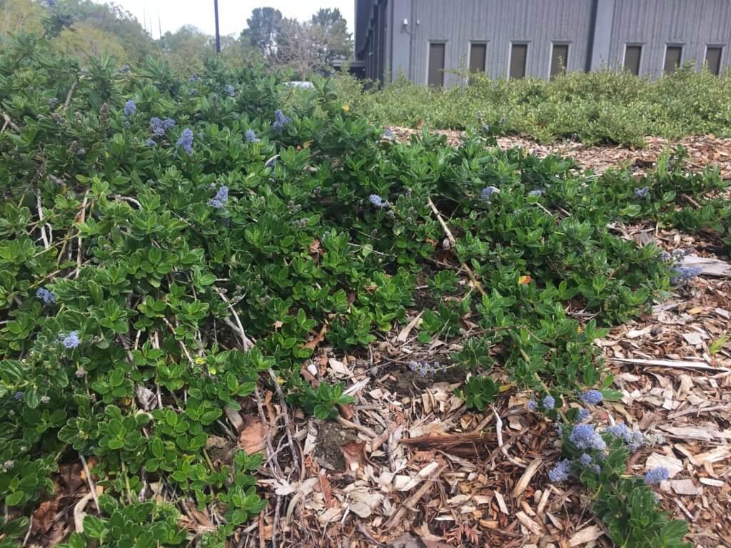 Native plants around Apple campus 2
