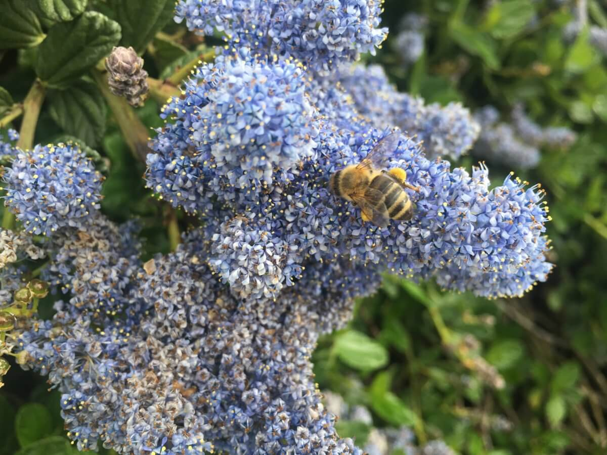 Bees love them, they are planted heavily around the Apple campus